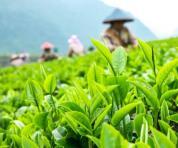 中国茶首批28个茶叶地标产品如何顺利进入欧盟?