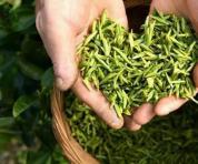 春茶是宝,秋茶尚好,冬茶是草|春茶、夏茶和秋茶的鉴别