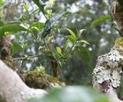 古树茶区分的方法:我们对古树茶知识究竟有多少误区?