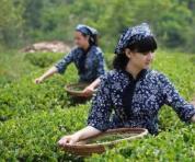 龙井茶怎么选?悟千年茶道,品八域龙井